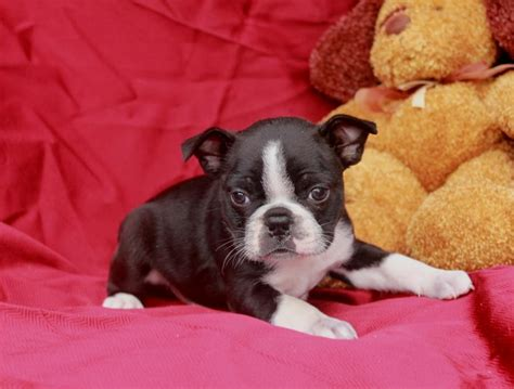 puppies for sale in michigan craigslist beautifully marked boston terrier puppies craigspets