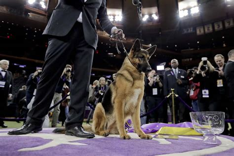 westminster show 2017 best in show 141st westminster kennel club show