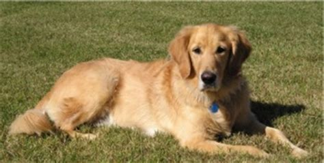golden retriever pictures by age golden retriever photos pictures golden retrievers page 5