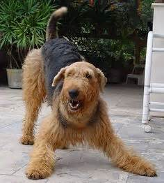 Non Shedding Cross Breed Dogs by 25 Best Ideas About Non Shedding Dogs On Golden Doodles Small Dogs And Cutest