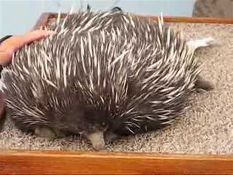 echidna spiny anteater  youtube