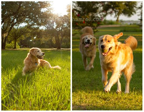 golden retriever puppies pensacola milton archives san diego pet photographer allison shamrell the san diego pet