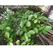 Ficus Microcarpa Nitida Retusa Chinese
