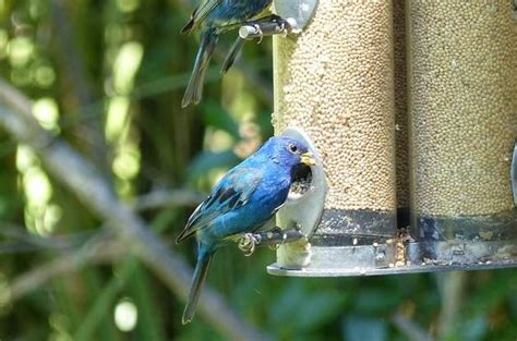 attract indigo buntings with millet seed