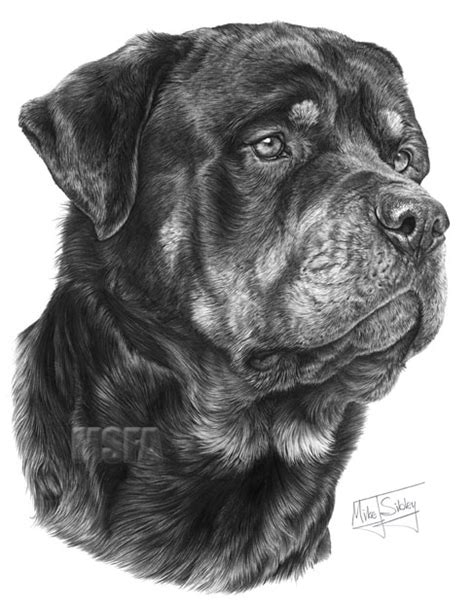 rottweiler pencil drawing rottweiler print by mike sibley