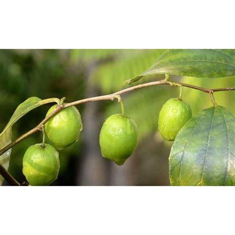 Tanaman Apel India Putsa jual bibit putsa apel india oleh central fruit park