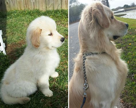 how big do golden retrievers grow 22 before after photos of dogs growing up part ii