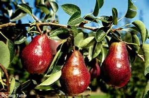 when do pear trees produce fruit ask monty my tree produces an abundance of pears but