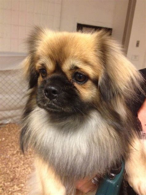 pugs bred to take lions tenzin the tibetan spaniel twitpic by hamiltonpug at westminster critters