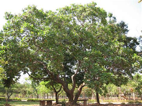 tree sh cashew tree botanical name anacardium occidentale