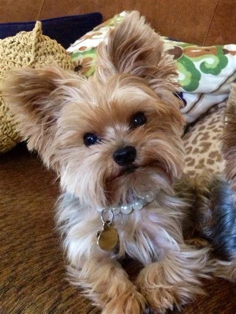 female yorkie haircuts styles cutie pie lovin my yorkie pinterest