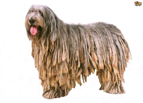 dogs with dreads breeds with dreadlocks pets4homes