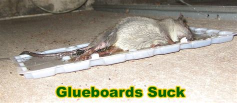how to catch a rat in the house how to catch a rat ways to catch rodents