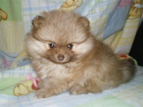 free puppies in michigan home akc tea cup chihuahua puppies for adoption breeds picture