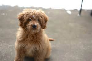 how much are goldendoodle puppies mini goldendoodle puppies white top pictures gallery