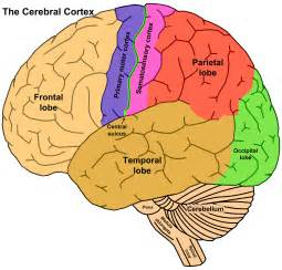 What Are The Four Sections Of The Brain by The Brain Concept With Synaesthesia The Syn Moment
