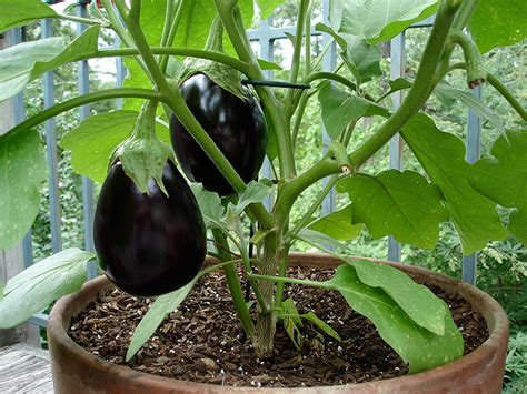 Gardening Eggplant Container Gardening 15 Best Vegetables That Grow Well In A