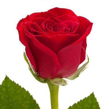 Roses, Red (125 stems)   Sam's Club