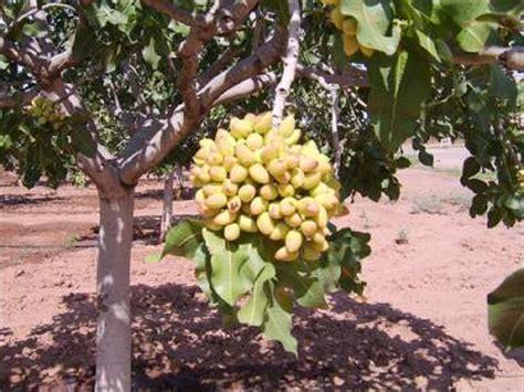 Kacang Pistachio pistachio nuts tree flourishing in mediterranean climates 187 spain info