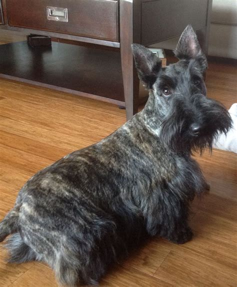 scottish yerrier haircuts 17 best images about scottish terrier haircuts on