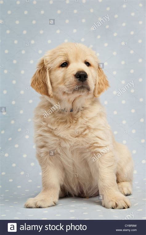 spotted golden retriever golden retriever puppy on a blue and white spotted background stock photo royalty