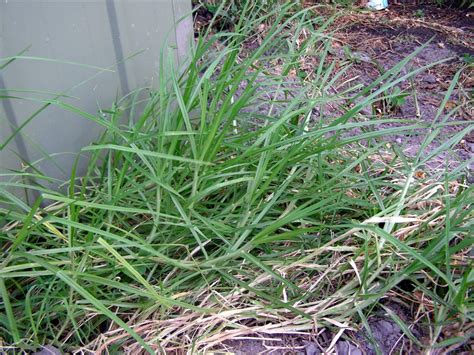 couch grass australia how cynodon dactylon brought me back to life a year in
