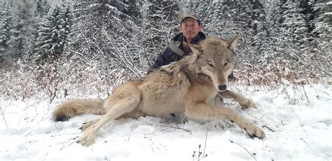 wolf trapping   tool idaho wildlife managers