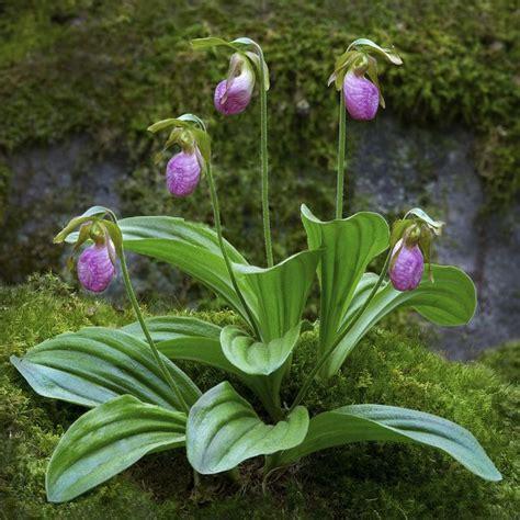 slipper flowers pink slippers by petranka on flickr plants