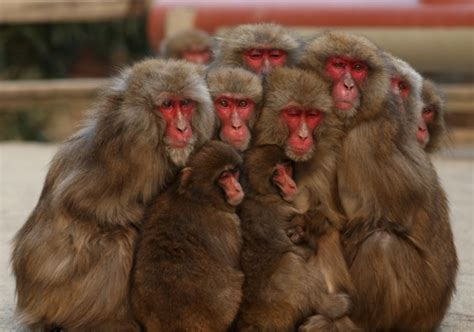 Brass monkeys: Japanese macaques chill out in hot springs ...