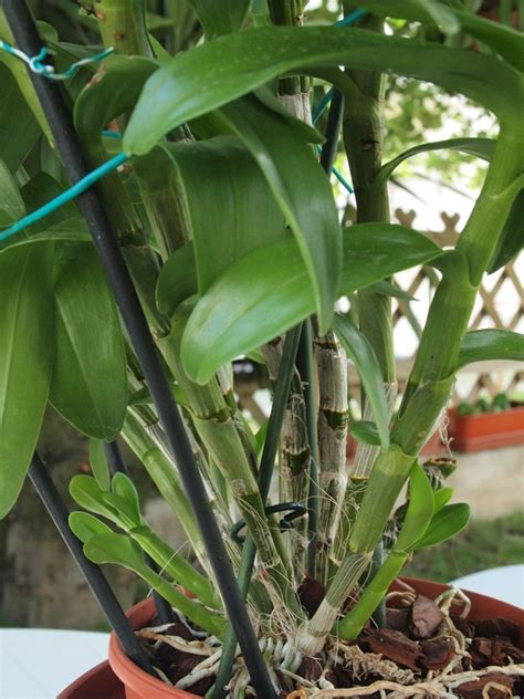 orchidea non fiorisce orchidea non fiorisce