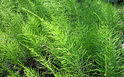 Winterharte Stauden Kaufen 418 by Zinnkraut Schachtelhalm Pflanze Equisetum Arvense
