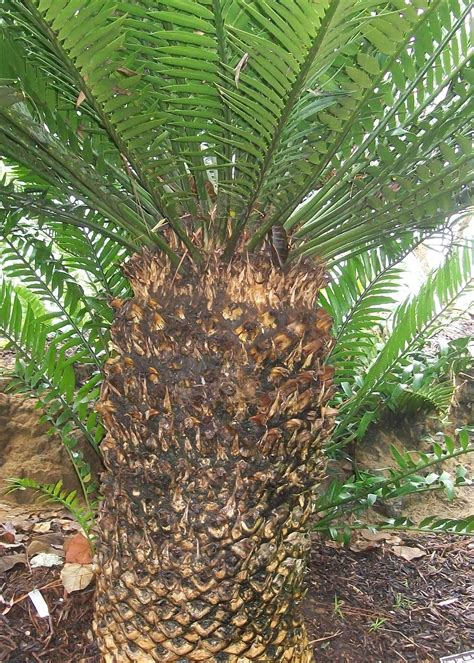 bread tree plant guide encephalartos altensteinii bread