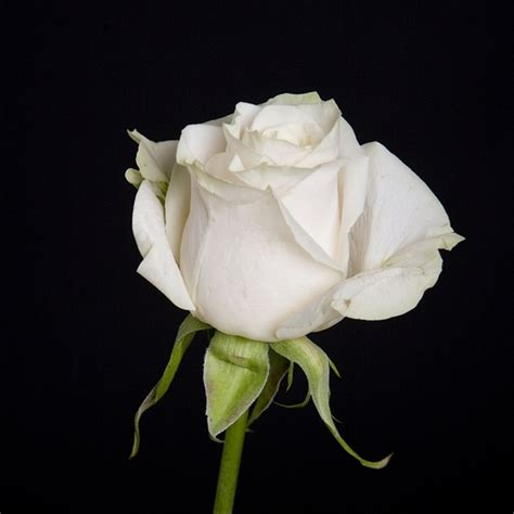 Rose Theme Blanche | offrir une rose blanche fleuriste bulldo