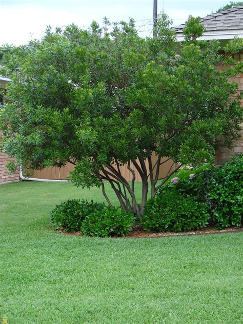 sales on trees wax myrtle trees wax myrtles for sale the planting tree