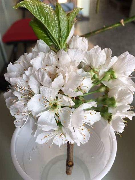albero con fiori bianchi un albero con fiori bianchi forum di giardinaggio it