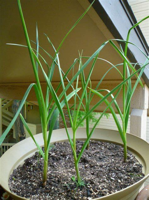 garlic container garden how to grow garlic in a pot grow garlic to grow and how