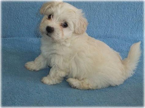 havanese kutya kir 225 lyerdei b 225 rsonykennel bichon havanese kuty 225 k 233 s kutyakozmetika budapesten