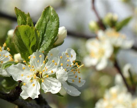 fiori di susino fiori bianchi su un susino fotografia stock immagine di