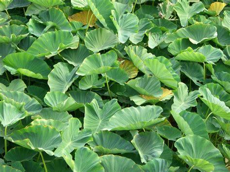 colocasia schott wikispecies
