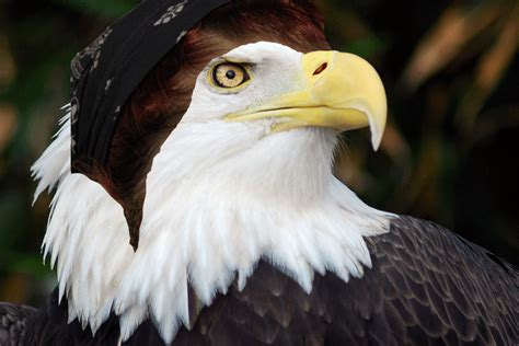 pictures of bald 15 bald eagles wearing wigs