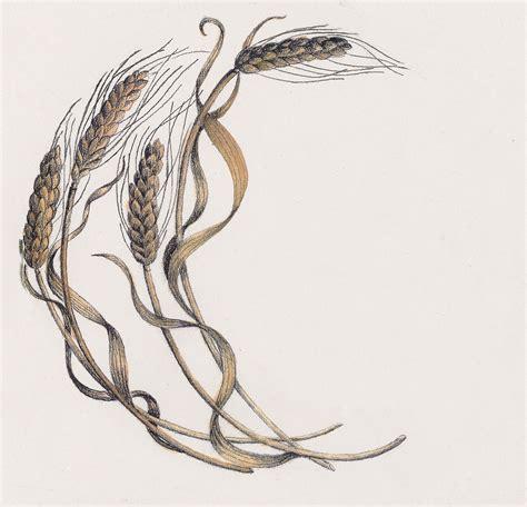 Wheat Botanical Drawing