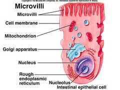 3 carbohydrates absorbed by epithelial cell bio digestive system flashcards quizlet