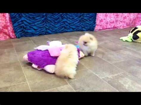 char pomeranians sundae funnydog tv