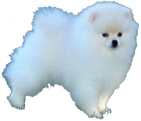 where did pomeranians come from pomeranian information