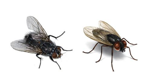 how to kill house flies kill house flies 28 images how to get rid of house flies a review of the best