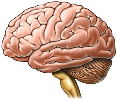 imagenes de el cerebro humano pedagog 237 a en neurobiolog 237 a del dolor s 243 lo duele el