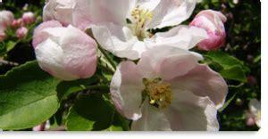 crab apple fiori di bach crab apple fiore di bach per la depurazione per chi