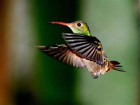 wildlife of the world hummingbirds beautifull smal bird
