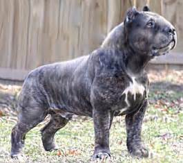 american pit bull terrier kennel club cane corsos dog breeds picture