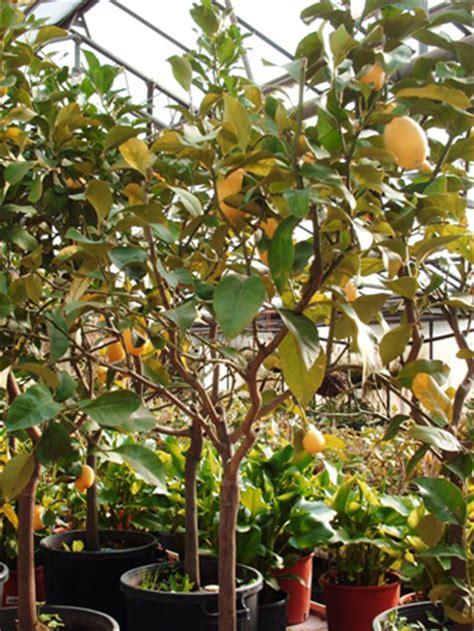 albero in vaso come allestire un frutteto in vaso nel balcone di casa
